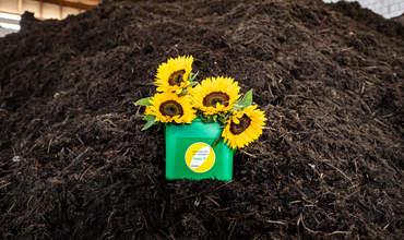Grünguteimer mit Sonnenblumen auf Kompost